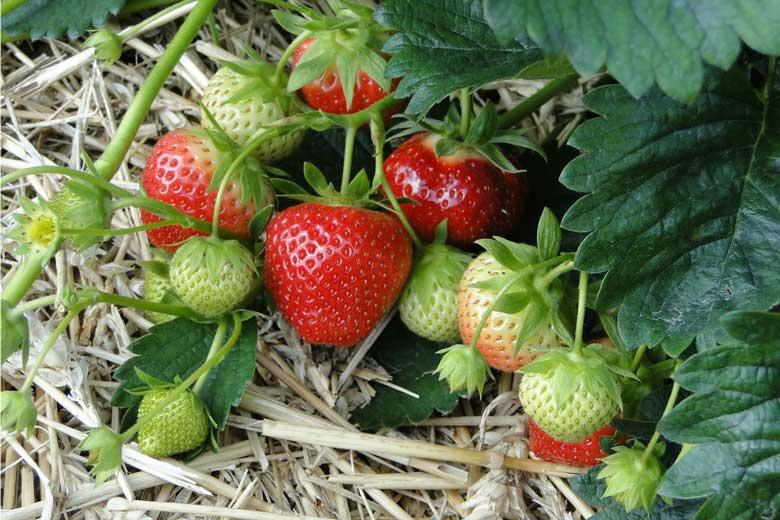Bio-Erdbeeren - Stroh statt Chemie
