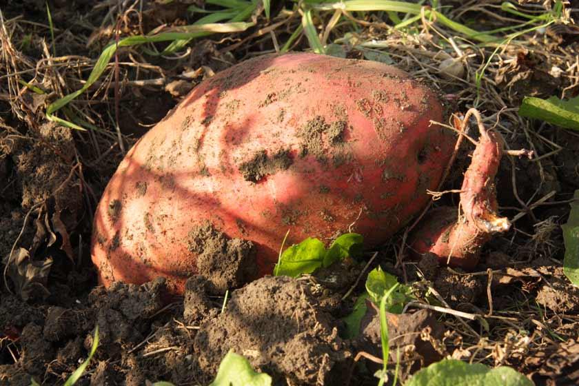 Süßkartoffel frisch aus der Erde ausgegraben