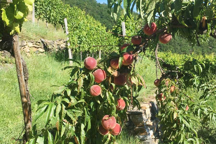 Weingartenpfirsisch in der Wachau